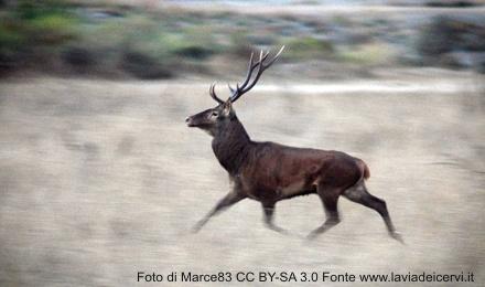 Un cervo nell'areale di Montevecchio - Foto di Marce83 CC BY-SA 3.0
